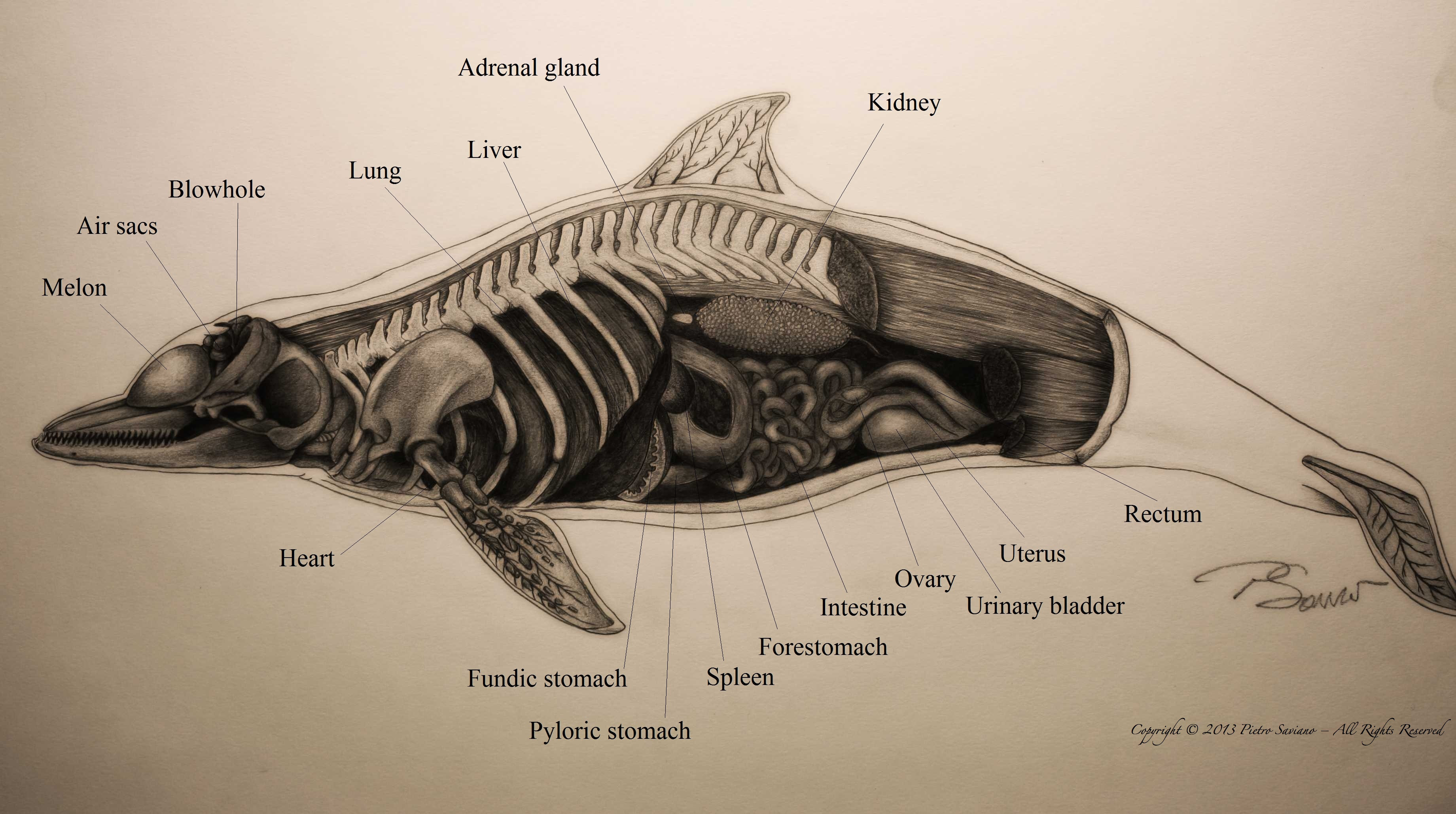 Dolphin Anatomy - Drawing by Pietro Saviano