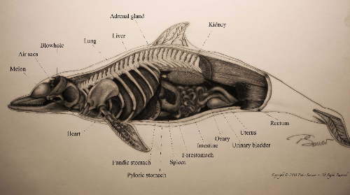 Dolphin Anatomy (small)